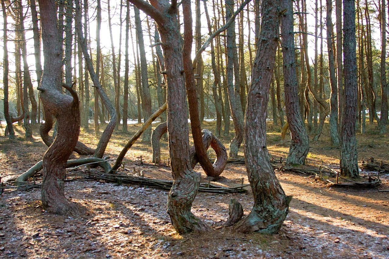 Куршская коса танцующий лес